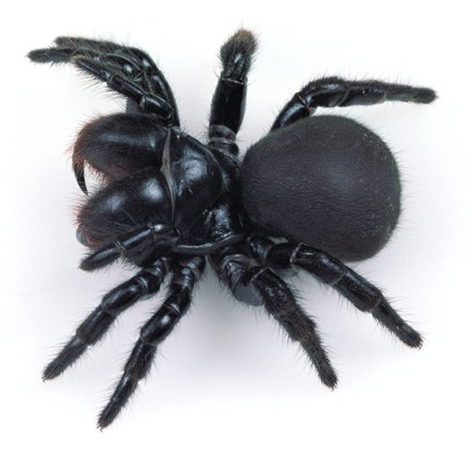 Mouse Spider female