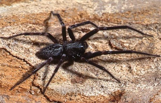 Black House Spider (male)