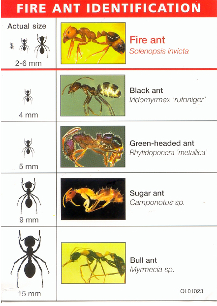Ant identification chart